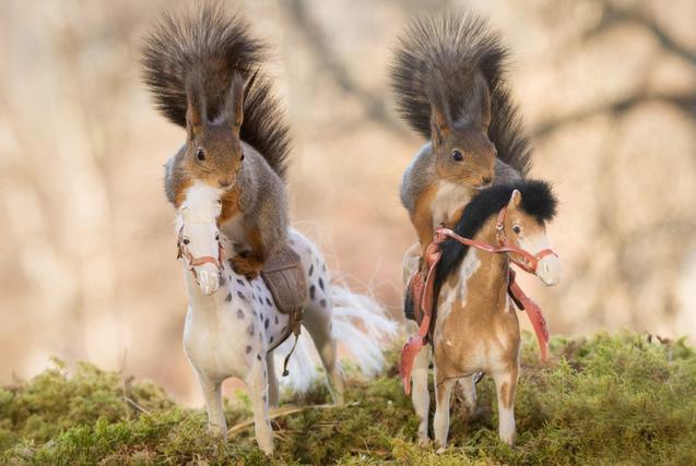 """摄影师偷拍瑞典小松鼠""""学会""""骑马"""