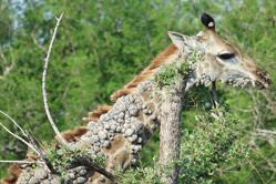 南非长颈鹿得脖子长满小球