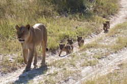 南非男子捕获小狮子跟随母亲散步瞬间