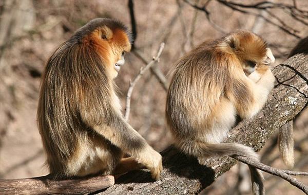 金丝猴守护垂危同伴感人至深
