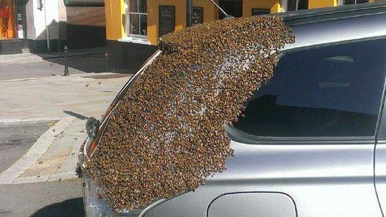 蜂后贪吃被困车内