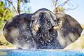 南非摄影师抓拍幼象水池戏水瞬间 呆萌至极