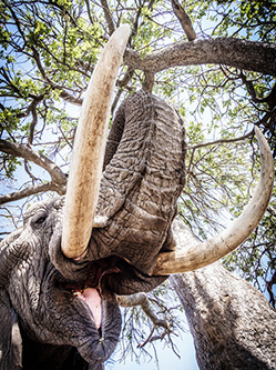 澳女摄影师历时十年拍摄非洲象