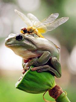 印尼蜻蜓天敌头上大胆歇脚