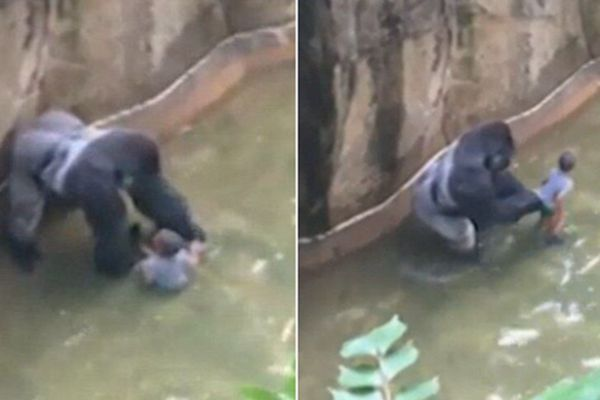 美国一男童跌入猩猩池遭拖拽  园方无奈枪杀大猩猩