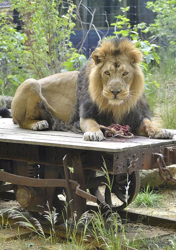 刺激!英动物园邀游客体验与狮共眠