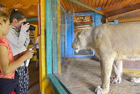 英动物园邀游客体验与狮共眠