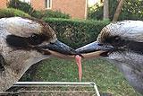 澳两只翠鸟嘴对嘴争食数小时