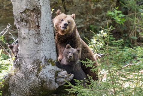 德国棕熊一家躲树后避镜头 画面滑稽