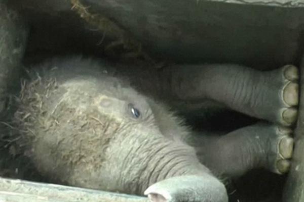 温情!斯里兰卡小象跌入下水道 路人伸手援救