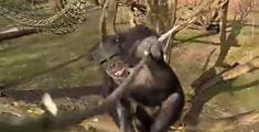 萝莉说趣事 :碉堡!猩猩用树棍打落飞机