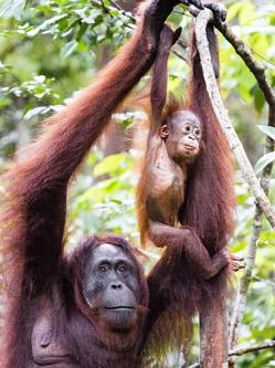 猩猩宝宝初学爬树露胆怯获鼓励