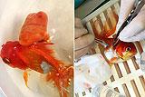 英金鱼成功接受肿瘤切除术