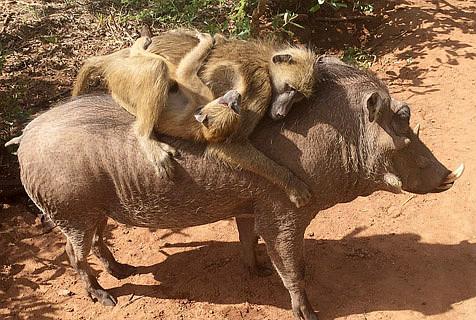 难兄难弟:孤儿狒狒与疣猪成密友