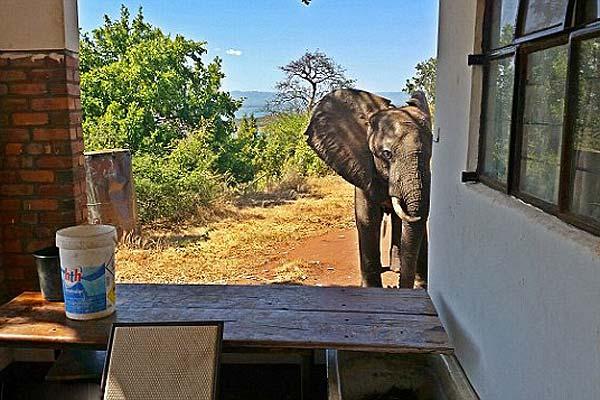 津巴布韦受伤大象闯入野外旅馆向房客求助
