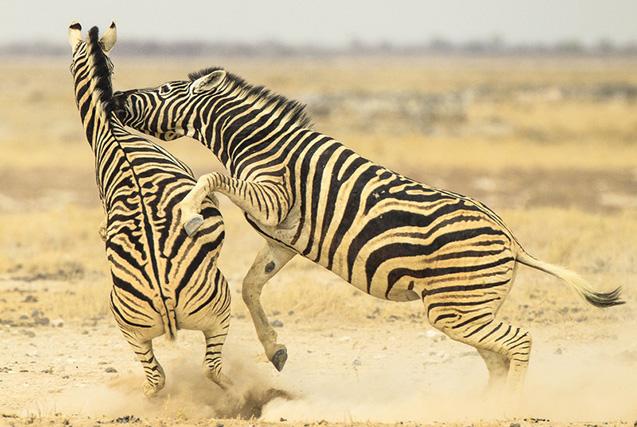 纳米比亚公园两斑马殊死搏斗 尘土飞扬