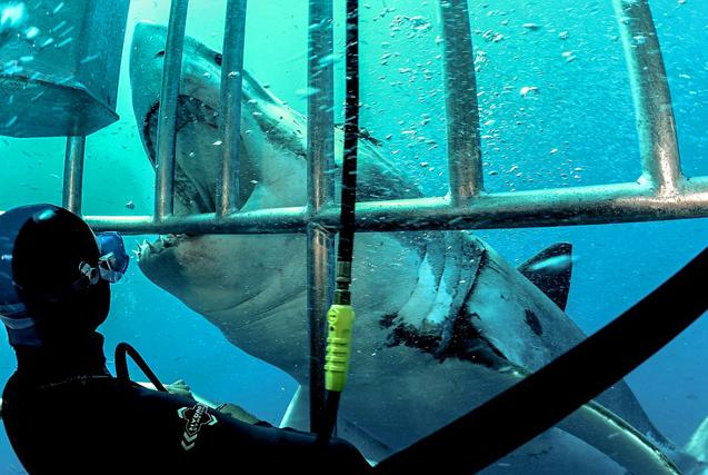 勇敢潜水员海底与大白鲨贴面互动