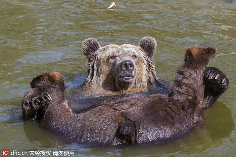 匈牙利棕熊四脚朝天惬意享受日光浴