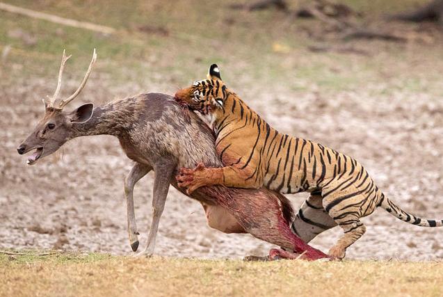 印度饿虎捕食水鹿 动作矫捷瞬间锁喉