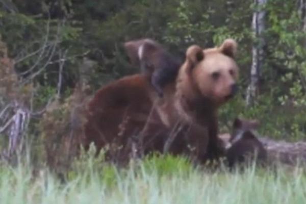 熊妈妈携熊宝宝觅食玩耍 场面温馨
