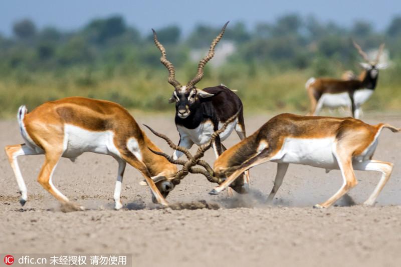 两印度黑羚激战 第三头围观似当裁判 - 海阔山遥 - .