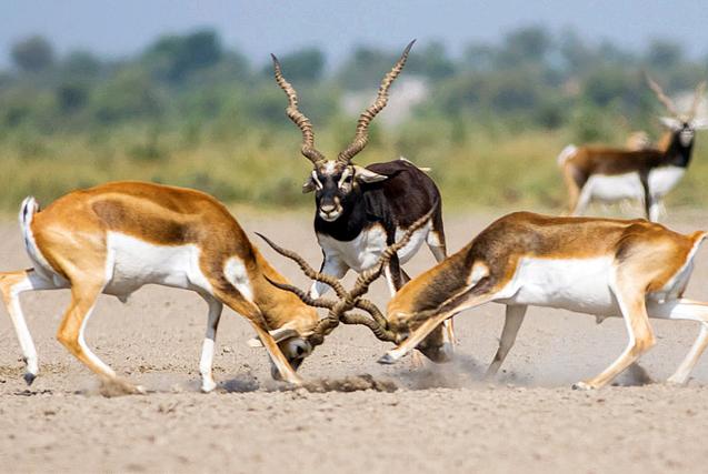 两印度黑羚激战 第三头围观似当裁判