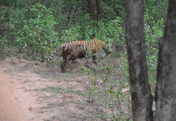 激烈!游客印度保护区实拍雌虎咬死美洲豹全过程