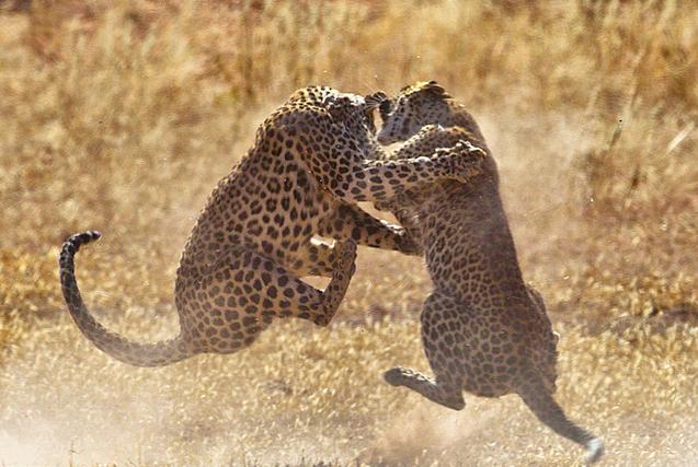非洲两猎豹单挑 半空扭打场面精彩