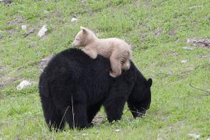 加黑熊栖息地现白色熊崽 或将被公熊杀死