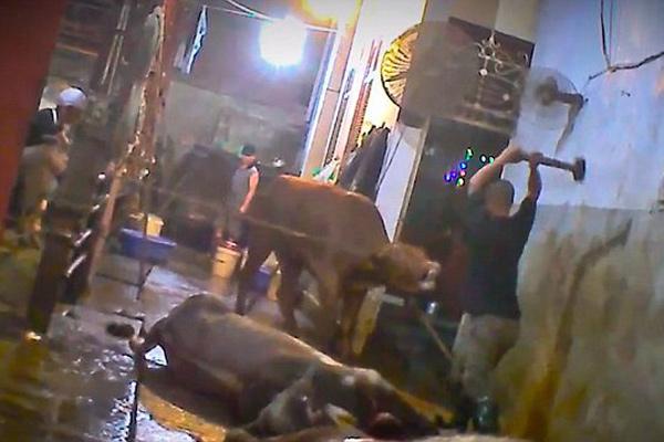 越南屠宰场被曝虐杀活牛 手法残忍令人发指