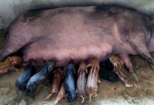 家猪产下17只野猪崽