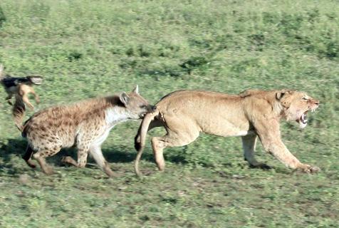 猛咬狮尾!为争早餐鬣狗与狮子大打出手