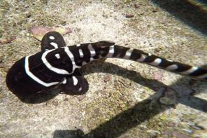 澳水族馆雌性鲨鱼单性生殖让人惊愕