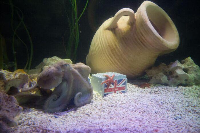 """""""章鱼哥""""预测公投结果为英国继续留在欧盟"""