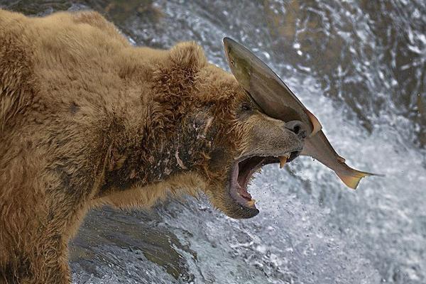 法摄影师捕捉美棕熊捕鱼失准被打脸一幕
