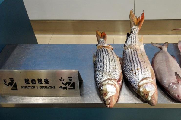 """重庆截获6条冰冻""""怪鱼"""" 共重20余公斤"""