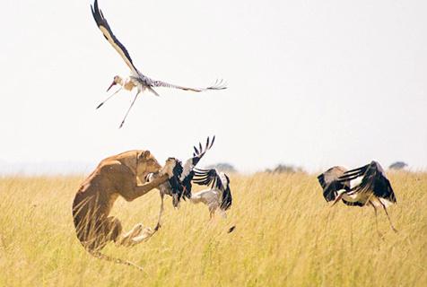 精彩!肯尼亚母狮腾空捕食白鹤