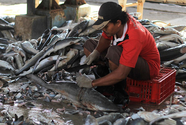 血腥鱼翅!印尼鱼市数万鲨鱼现场被割鱼鳍