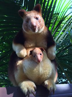 呆萌!澳大利亚树袋鼠宝宝可爱现身