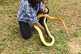 秘鲁女汉子徒手活捉2米长蛇