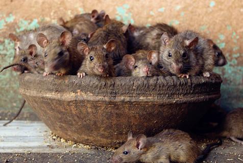印度老鼠庙 超2万只老鼠受人朝拜