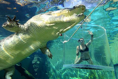 加拿大女子藏身玻璃笼与巨鳄亲密接触