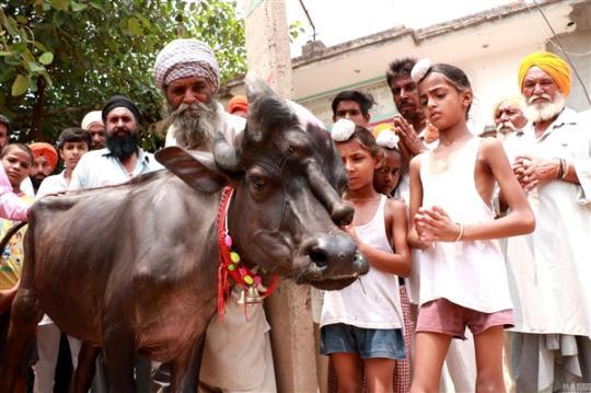 印度村庄降生三眼牛