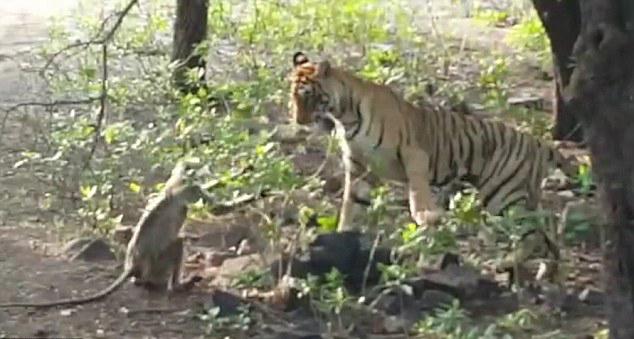 游客印公园实拍老虎和猴子嬉戏打闹场景