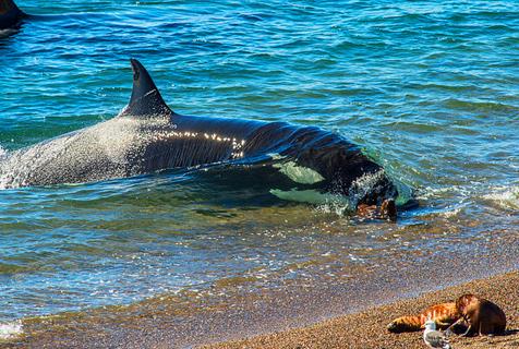 虎鲸冒搁浅危险沙滩上捕食海狮