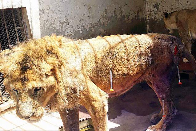 也门内战导致动物园猛兽饿成皮包骨