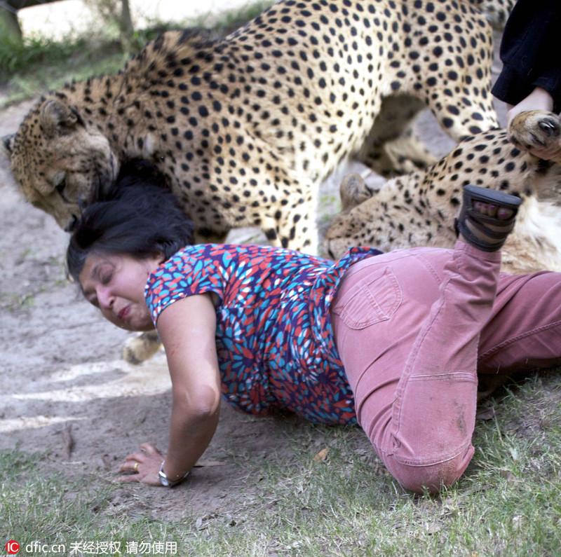 """60岁的苏格兰家庭主妇Violet D'Mello和丈夫在南非Kragga Kamma野生动物园看猎豹,忽然,一只豹子袭击了一名当地的8岁女孩Camryn Malan,发疯的撕咬她的腿。D'Mello夫人上前一步试图帮忙,猎豹却对小Camryn失去了兴趣,转而扑向她仓皇逃跑的弟弟——7岁的Calum。D'Mello夫人回忆说:""""一切都发生的太快了,他姐姐脱险后,他吓得撒腿就跑。我正要告诉他不要跑,否则会激怒豹子,它就从我背后扑了过来。""""所幸,最后这名妇女通过装死成功逃命。Violet DMello/Whitehotpix/东方IC"""