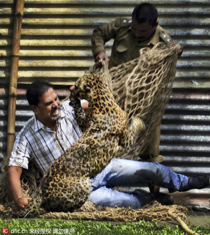 当地时间2012年6月3日,印度Assam,一名男子和一只花豹搏斗,旁边一个人试图用网抓住它。Uncredited/东方IC