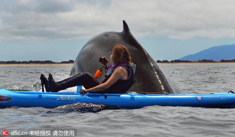 当地时间2013年8月7日,美国加州,橡皮艇漂流爱好者在悠闲地晒太阳,但突然间一头40英尺长的鲸在橡皮艇附近突然窜起,几乎就要碰到已经震惊的人。东方IC