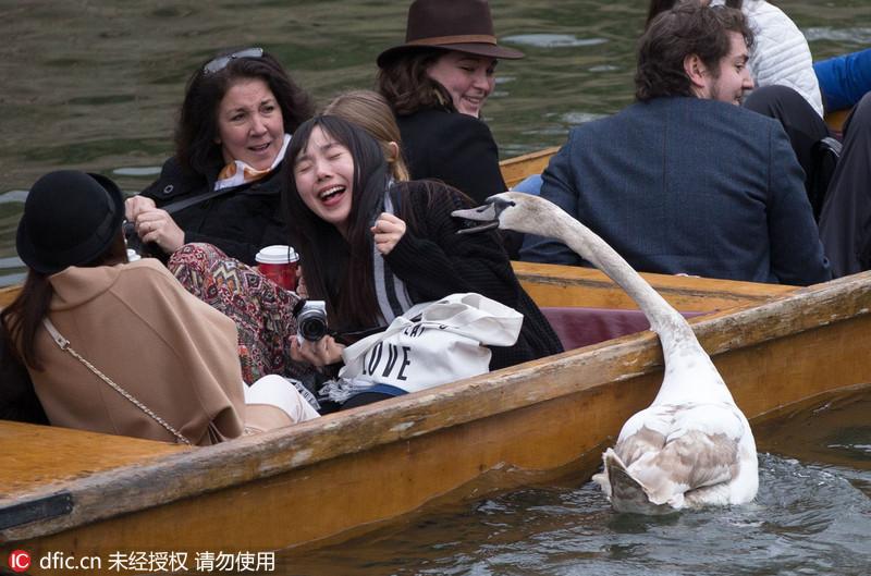 """当地时间2015年4月报道,在英国剑桥郡著名的剑河(Cambridge river)上,曾经有一只名叫""""Asbo""""的天鹅,它因暴躁的脾气而出名。近日,Asbo的孙子Asbaby被拍到在剑河上恐吓并追咬游客,抢夺面包、香槟甚至试图""""偷""""走游客背包。Asbo天鹅曾是剑河上的""""河霸"""",因多次袭击游客,它于2012年被政府迁居到100公里以外的地方。在2014年夏季,Asbo的儿子Asboy也曾在剑河上进行了短暂的""""恐怖统治""""。如今,还是未成年的Asbaby继承了祖父与父亲的坏脾气,继续在剑河上""""称霸""""。PhotographyREX Shutterstock/东方IC"""